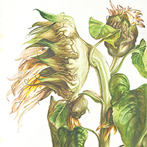 Jim Kay | Sunflowers