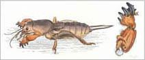 Jim Kay | Bugs: Digging mole cricket