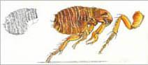 Jim Kay | Bugs: Jumping flea