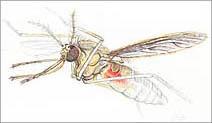 Jim Kay | Bugs: Mosquito