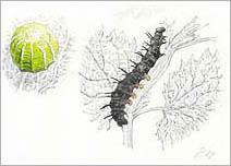 Jim Kay | Bugs: Egg and caterpillar