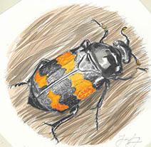 Jim Kay | Bugs: Burying beetle