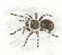 Jim Kay | Bugs: Tarantula