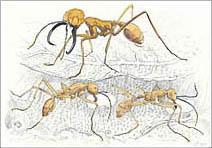 Jim Kay | Bugs: Army ants
