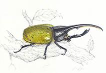 Jim Kay | Bugs: Hercules beetle