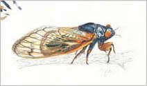 Jim Kay | Bugs: Seventeen-year cicada