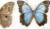Jim Kay | Bugs: Blue Morpho Butterfly